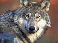 Naturdetektive: Wölfe in Deutschland